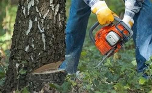 Можно Ли Пилить Сухие Деревья В Лесу